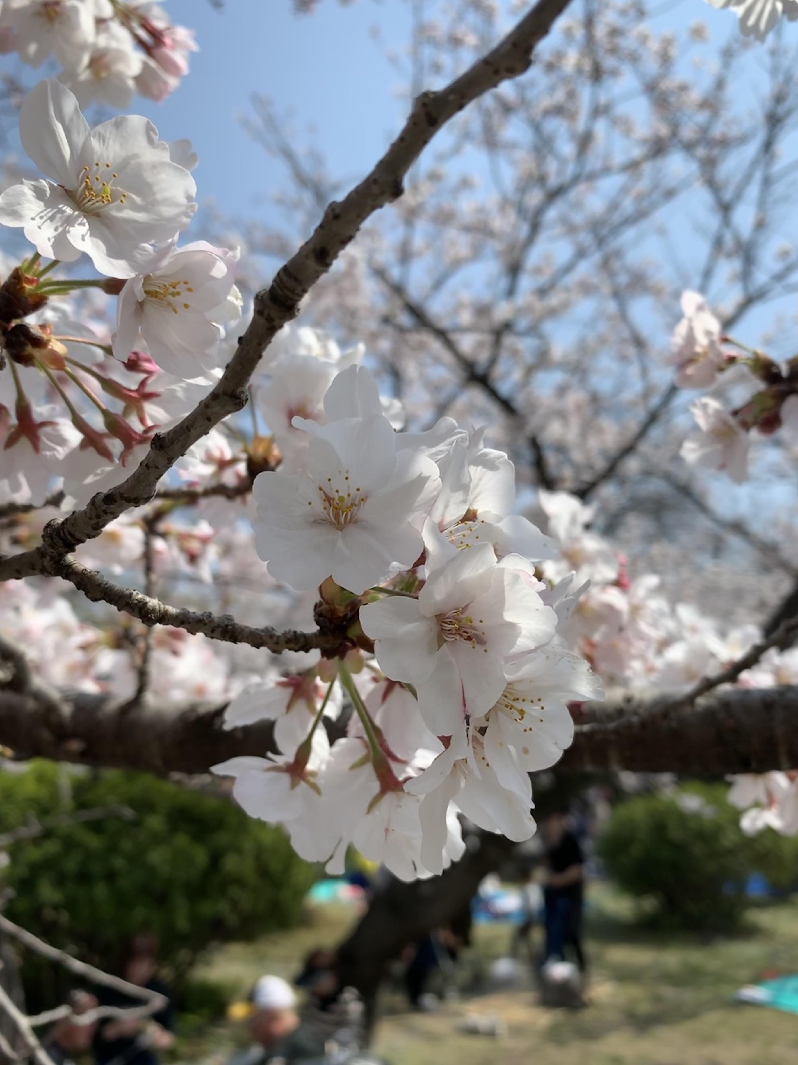 和歌山城の桜のアップ写真